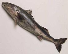 Merluzzo black cod