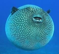 Pesce palla for Acquisto pesci online