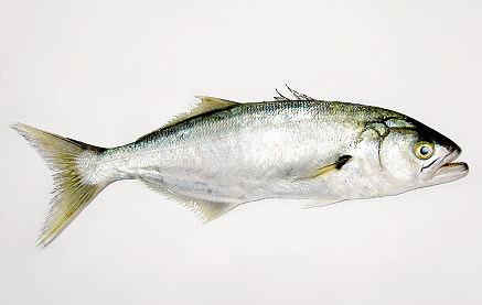Pesce serra - Come cucinare il pesce serra ...