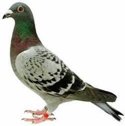 Piccione o colombo