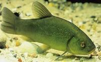 tinca pesce d 39 acqua dolce