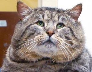 come mettere a dieta un gatto obeso
