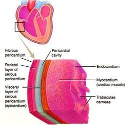 Anatomia e fisiologia del pericardioVisceral Pericardium