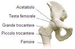 Anatomia dell'articolazione dell'anca